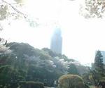 Sakura_7_1